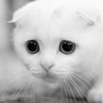 Аватар Котенок с прижатыми ушами в черно-белом цвете