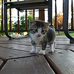 Аватар Маленький серый котенок
