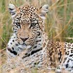 Аватар Леопард лежит в сухой траве