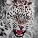 Аватар Красивый рычащий гепард