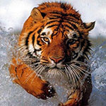 Аватар Тигр плывет в воде