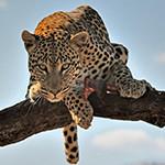 Аватар Леопард сидит на ветке на фоне неба