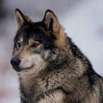 99px.ru аватар Волк в профиль
