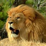 Аватар Лев с открытой пастью