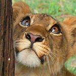 Аватар Львица смотрит вверх на дерево