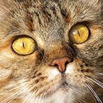 Аватар Мордочка серой кошки с желтыми глазами