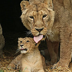 Аватар Львица лижет своего детеныша