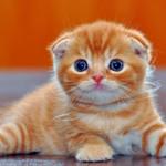 Аватар Рыжий котенок с голубыми глазами