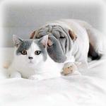 Аватар Бело-серый кот и шарпей лежат на кровати