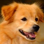 Аватар Красивый рыжий щенок