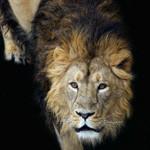 Аватар Лев на черном фоне