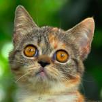Аватар Серый котенок с янтарными глазами