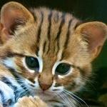 Аватар Мордочка маленького леопарда