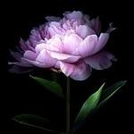 Аватар Чарующий розовый цветочек расцвел в ночи
