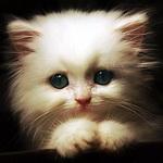 Аватар Красивый белый котенок смотрит в камеру