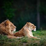Аватар Лев и львица лежат на земле