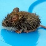 Аватар Маленькая мокрая мышь