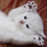 Аватар Белый котенок лежит с поднятыми лапками