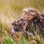 Аватар Лев лежит в траве