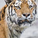 Аватар Тигр куда - то внимательно смотрит