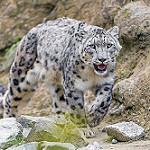 Аватар Леопард мягко ступая, идет по горной тропинке
