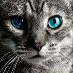 Аватар Мордашка голубоглазого кота