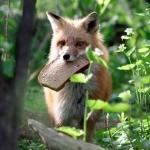 Аватар Лиса тащит кусок хлеба в лесу