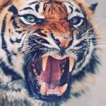 Аватар Морда рычащего тигра