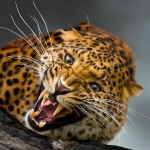 Аватар Рычащий леопард на дереве