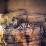 Аватар Тигр лежит на камне в загоне