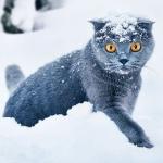 99px.ru аватар Британский кот сидит в снегу