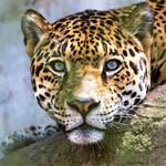 Аватар Леопард с зелеными глазами