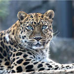 Аватар Леопард с голубыми глазами