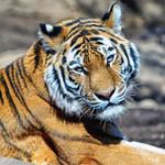 Аватар Тигр крупным планом