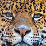 Аватар Морда ягуара крупным планом