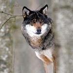 Аватар Волк на размытом фоне
