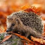 Аватар Ежик на камне в осенних листьях