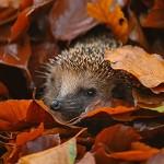 Аватар Ежик в осенних листьях
