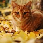 Аватар Рыжий кот лежит в осенних листьях