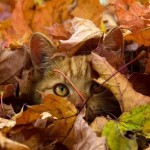 Аватар Рыжий кот выглядывает из осенних листьев
