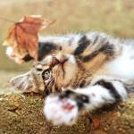 Аватар Полосатый котенок играет с осенним листом