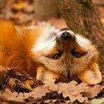 Аватар Лисица лежит в лесу на ковре из желтых осенних листьях
