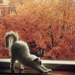 Аватар Белая кошка сладко потягивается на фоне позолоченных осенних деревьев