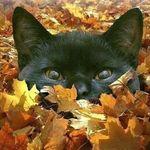 Аватар Мордашка черного кота выглядывает из - за вороха желтых осенних листьев