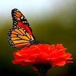 Аватар Бабочка сидит на цветке