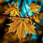 Аватар Красивый кленовый лист, разукрашенный красками золотой осени, на фоне голубого неба