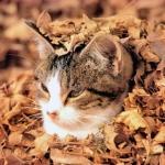 Аватар Кот лежит, засыпанный желтыми осенними листьями