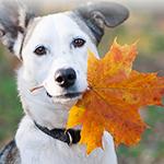 Аватар Белая собака с кленовым осенним листком в зубах
