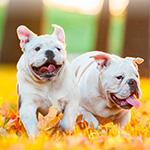 Аватар Два белых бульдога играют на осенних листьях