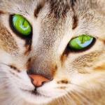 Аватар Мордашка зеленоглазого котенка